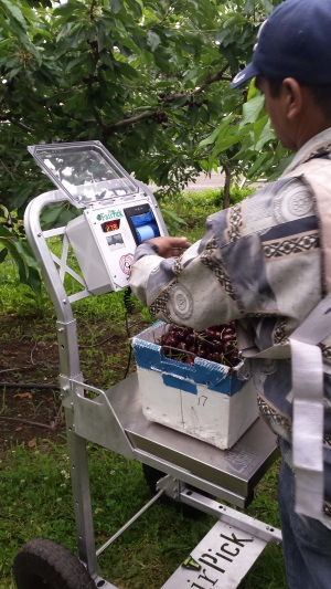Picker Scanning RFID Wristband on FairPick Orchard Scale